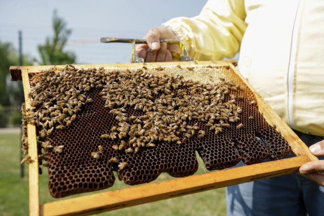 Beekeeper Francesco Capoano holds a frame at an apiary in Milan, Italy