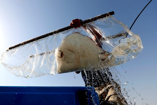 A stingray is being transferred out of a water tank as part of a conservation project by the Atlantis Hotel, at the The Jebel Ali Wildlife Sanctuary in Dubai, United Arab Emirates