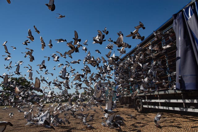 Racing pigeons are released