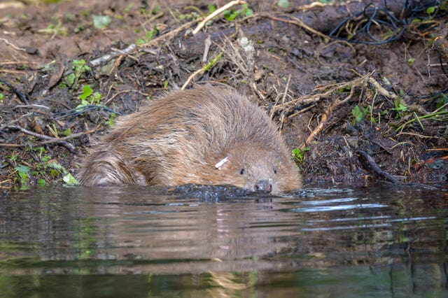 Eurasian beavers released