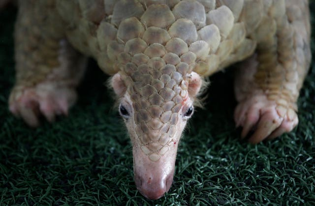 The pangolin is said to be the most widely trafficked mammal in the world