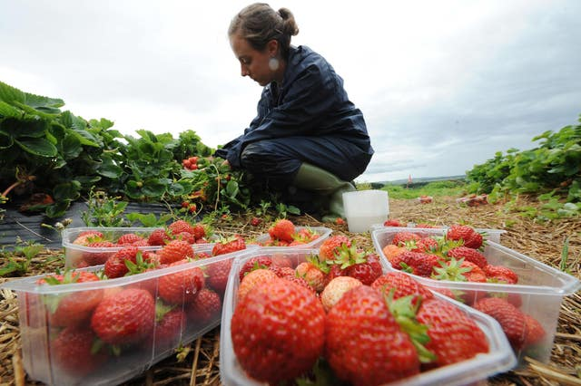 The Pick for Britain initiative hopes to encourage British workers to harvest produce. Owen Humphreys/PA Wire