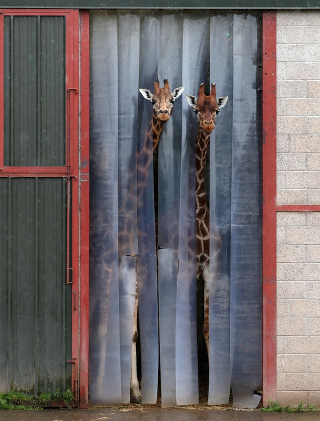 Two giraffes poke their heads out from their enclosure to see what's going on
