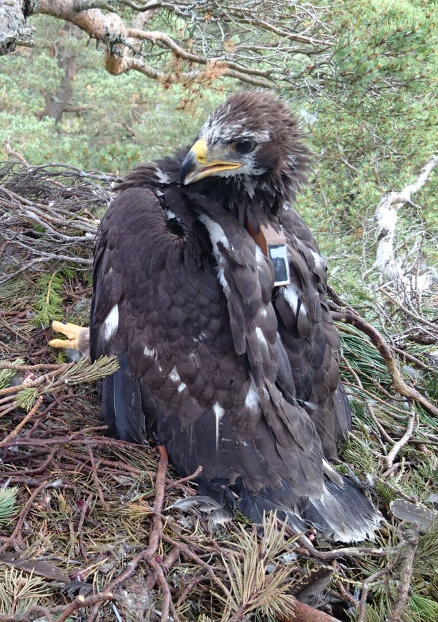 National park trials new technology to combat golden eagle deaths