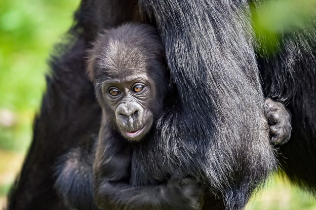 The gorilla will soon be learning how to walk and crawl (Ben Birchall/PA)