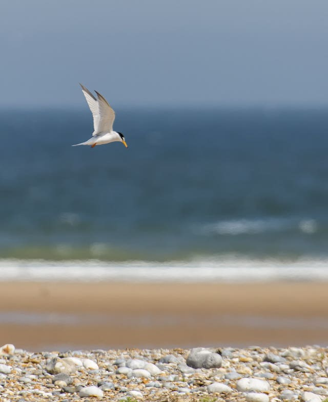 A little tern in flight over the coastline at Blakeney