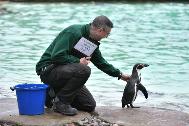 Zookeeper Martin Franklin counts Humboldt penguins