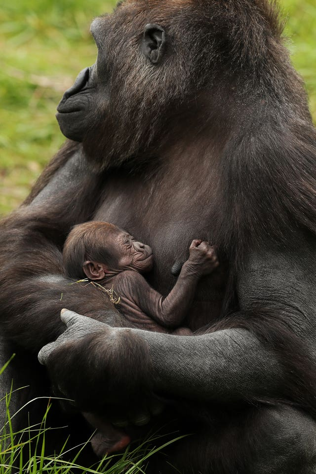 1cfa37de0ae8 The baby western lowland gorilla is held by mother Kafi (Brian Lawless PA)
