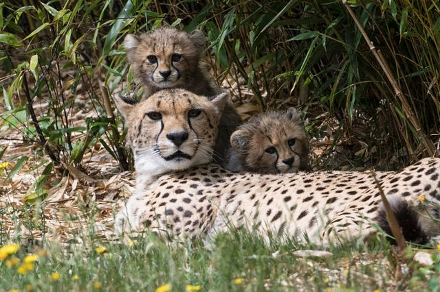 Cheetah cubs at Colchester Zoo