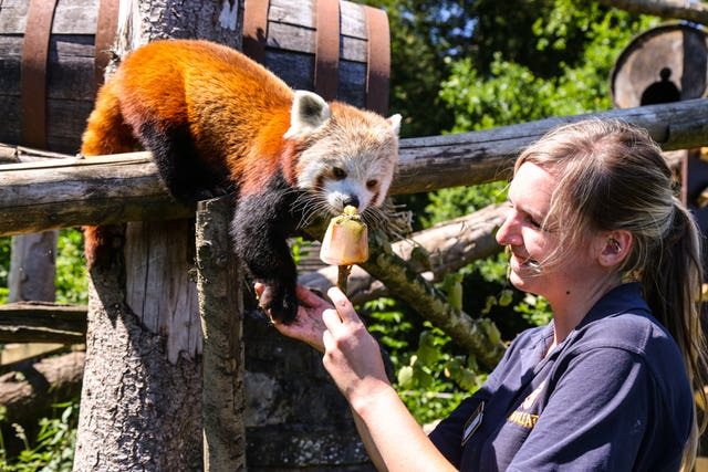 Keeper Samantha Allworthy gives an ice lolly treat to a red panda