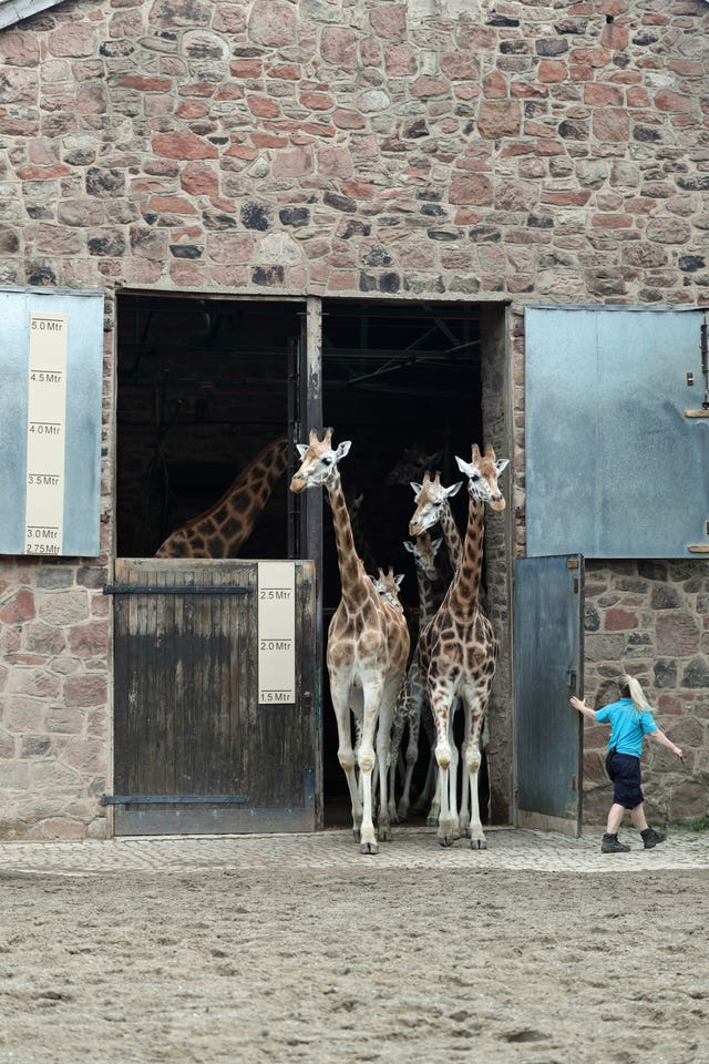 Giraffes at Chester Zoo
