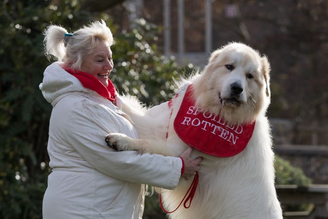Pyrenean mountain dog Boris