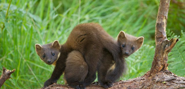 Pine martens in England