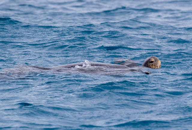 A logger-head turtle swims around Lady Elliot's Island (Steve Parsons/PA)