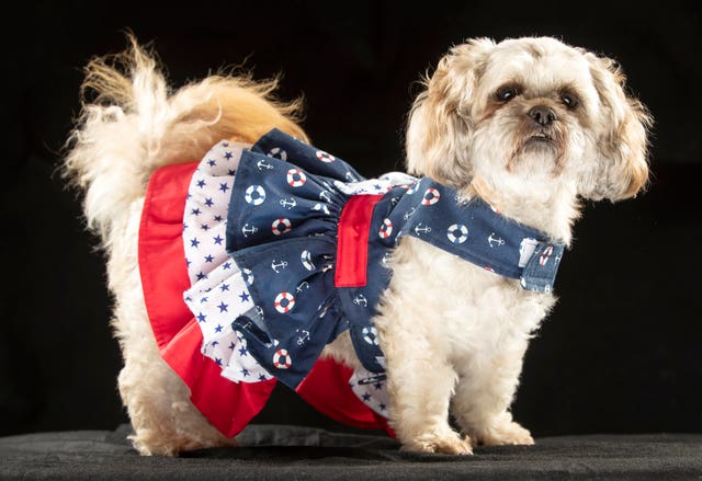 Bella the Shih Tzu wearing a maritime themed dress