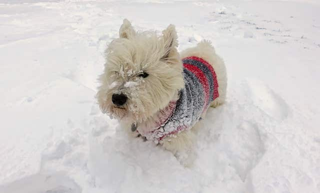Arthur, a West Highland terrier, explores the snow near Okehampton (Martin Keene/PA)