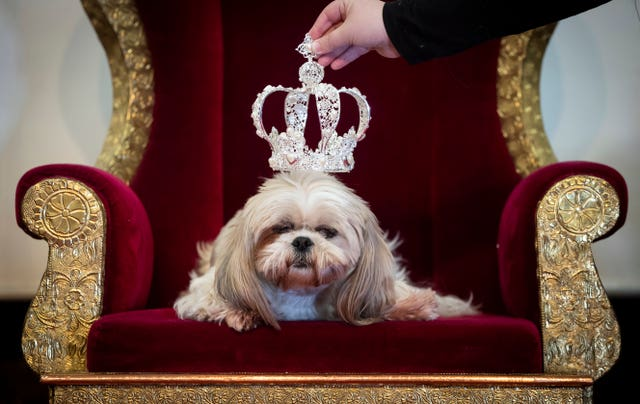 Gizmo the Shih Tzue wears a crown