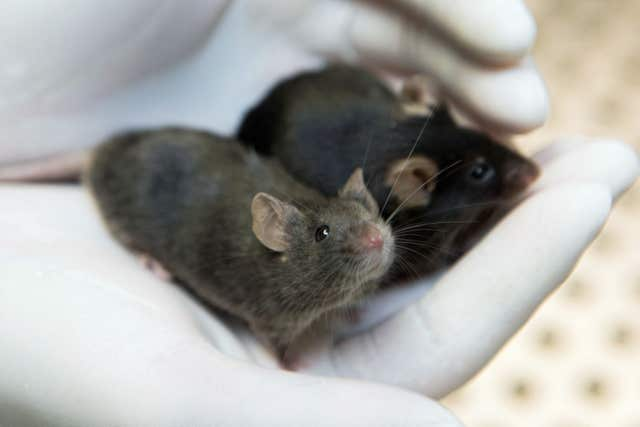 Mice in the cannabis study