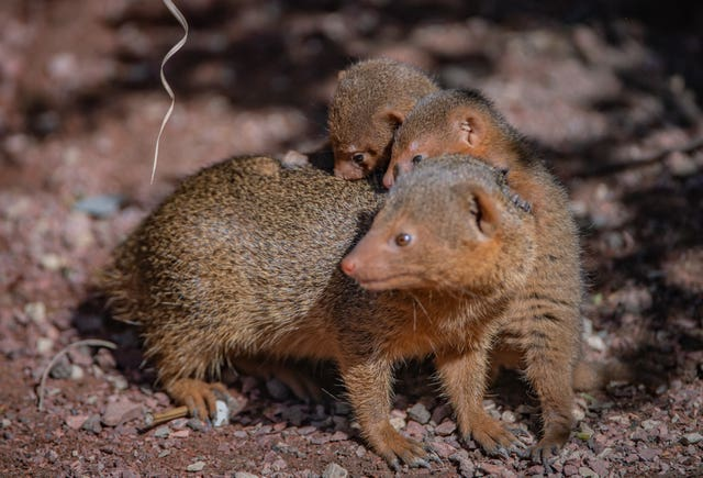 Undated handout photo issued by Chester Zoo of tiny dwarf mongoose triplets that have emerged from their burrows for the very first time after being born at Chester Zoo