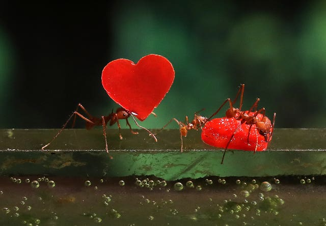 Leaf cutting ants deliver red love hearts to their queen in their nest at Blair Drummond Safari Park (Andrew Milligan/PA)