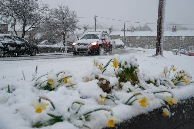 Daffodils covered in a blanket of snow in the village of Catton, Northumberland